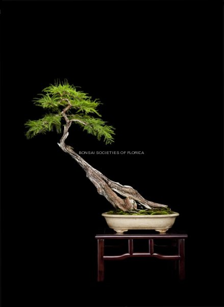 34.macias.baldcypress