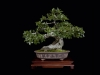 32.lippincott.chinesehackberry