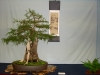 Knowlton Bald Cypress