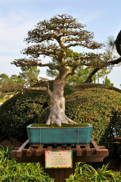 David Baruch\'s Chinese Elm