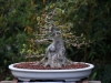 Lunetta Knowlton's Trident Maple
