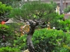 Jarbas Godoy's Australian Pine