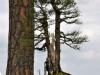 Ron Kempinski's Australian Pine