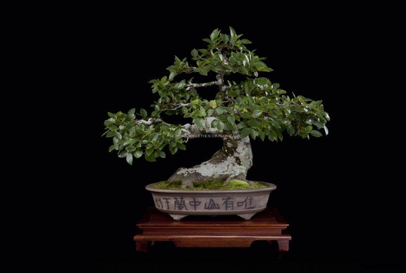 32.lippincott.chinesehackberry