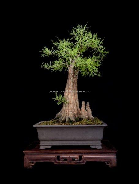 42.madison.baldcypress
