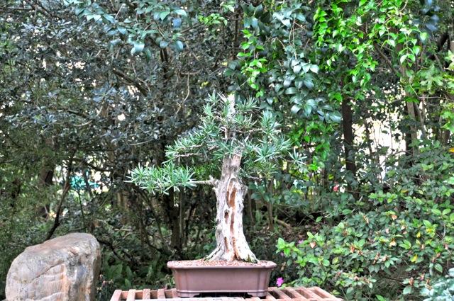 Charlie Michelson\'s Podocarpus