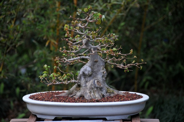 Lunetta Knowlton\'s Trident Maple