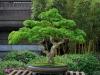 Ronn Miler Brazilian Raintree