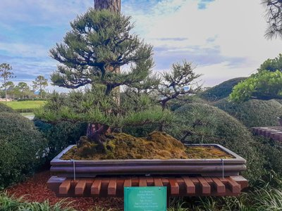 Rob-Black-Pine