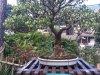 Jesus-Ficus-TL