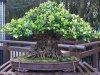 Ronn-Ficus-Retusa